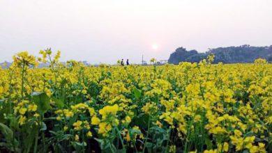 Photo of সোনারগাঁয়ে সরিষা চাষে প্রতিটি ফুলে দুলছে কৃষকের রঙিন স্বপ্ন